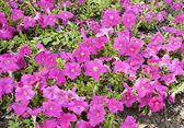 Petunia — Stock Photo