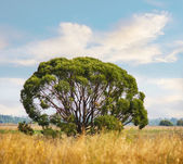 The lonely tree in the field — Stock Photo