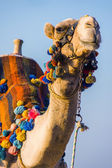 The muzzle of the African camel — Stock Photo