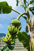 Unripe bananas on a branch — Stock Photo