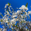 Flowers of the cherry blossoms — Stock Photo #25667489