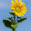 Yellow sunflower against a blue sky — Stock Photo