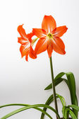The two lily — Stock Photo