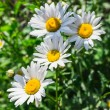 A Beautiful sunny chamomile flowers close-up — Foto Stock