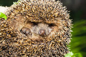 Four-toed young hedgehog, Atelerix albiventris — Stock Photo