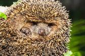 Młody jeż białobrzuchy, atelerix albiventris — Zdjęcie stockowe