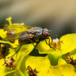 Insect fly macro on the flowers — Stock Photo