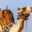 Stock Photo: Muzzle of Africcamel