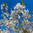 Flowers of the cherry blossoms — Stock Photo #33708791