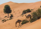 Desert landscape with camel — Stock Photo