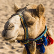 Camel on Jumeirah Beach in Dubai — Stock Photo #44185389