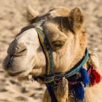 Camel on Jumeirah Beach in Dubai — Stock Photo