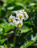 Potato bush blooming with white flower — Stock Photo