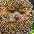 Four-toed young hedgehog — Stock Photo