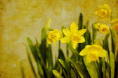 Vintage spring daffodils (narcissus) — Stock fotografie