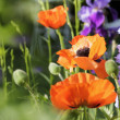 Poppies and larkspur — Stock Photo