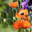Stock Photo: Poppies and larkspur