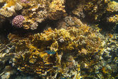 Tropical coral reef and fishes on Red Sea — Stock Photo