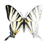 Kelebek iphiclides podalirium. bitmemiş suluboya çizimi ı — Stok Vektör