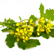 Stock Photo: Mustard flowers.