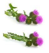 Thistle (Cirsium) - very prickly flower. — Stock Photo