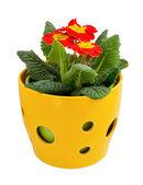 Röd primrose i en blomkruka — Stockfoto