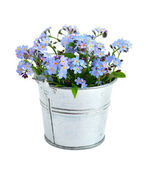 Forget-me-not isolated — Stock Photo