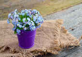 Forget-me-not — Stockfoto