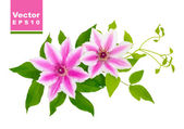 Clematis. Vector illustration. — Stockvector