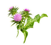 Milk thistle — Foto Stock