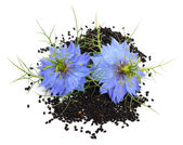 Nigella sativa — Stock Photo