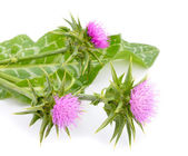 Milk thistle — Stock Photo