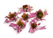 Dried flowers Echinacea purpurea — Stock Photo