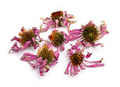 Dried flowers Echinacea purpurea — Stock Photo