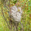 Grey wasps nest in willow bush — Stockfoto