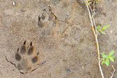 Wolf foot prints in soft mud and willow leaves — Stock Photo