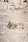 Paper birch Betula neoalaskana bark background — Stock Photo