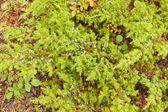 Vilda juniper buske juniperus communis med bär — Stockfoto
