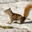 Alert cute American Red Squirrel in winter snow — Stock Photo