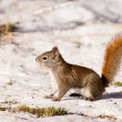 Alert cute American Red Squirrel in winter snow - Stock Photo