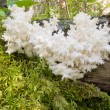 Delicious edible white mushroom Coral Hericium — Stock Photo #23206264
