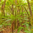 Fern tree rainforest wilderness Otago New Zealand — Lizenzfreies Foto