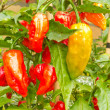 Specialty peppers Ghost Chili ripe to harvest - Stock Photo