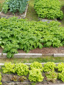 Raised beds of various vegetable plants potatoes — Stock Photo