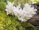Delicious edible white mushroom Coral Hericium — Stock Photo