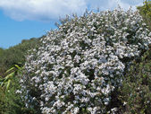 Blooming Manuka Leptospermum scoparium NZ tea tree — Stock Photo