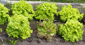 Raised beds of homegrown organic lettuce plants — Stock Photo