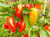 Specialty peppers Ghost Chili ripe to harvest — Stock Photo