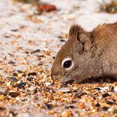Squirrel Tamiasciurus hudsonicus steals bird food — Stock Photo
