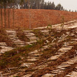Vast clearcut Eucalyptus forest for timber harvest — Stock Photo